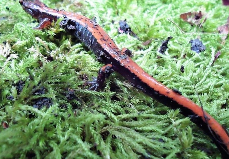 The Western Red Back Salamander can be found all over the coast of BC south to Southern Oregon.