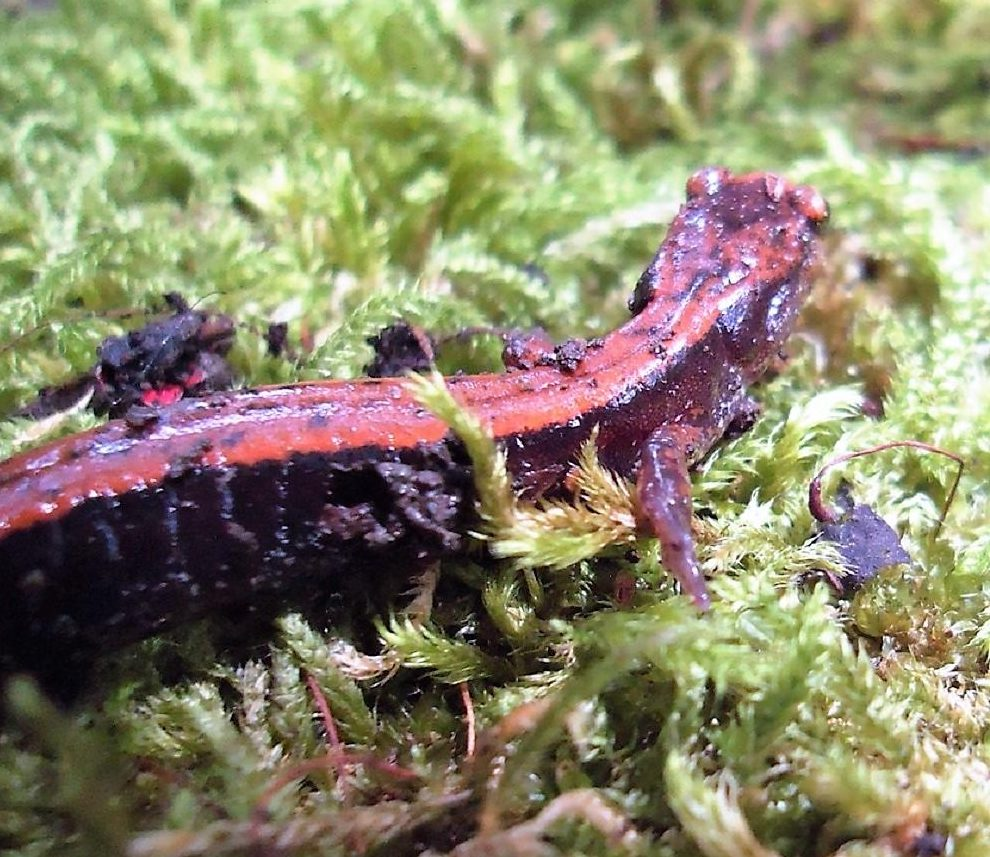 Western Red Back Salamanders do not have lungs, even though they live on land. They breathe through their skin, which must be moist at all times.