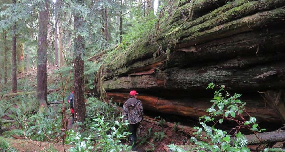 A natural fallen giant Western Red Cedar in the Carmanah Valley on Vancouver Island, there are many giant Red Cedars in the Pacific Northwest