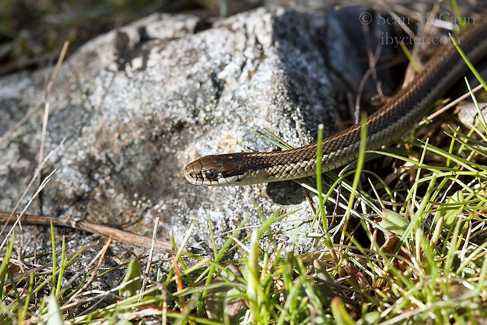 The Western Terrestrial Garter Snake is a frequent visitors to many backyards throughout its range.