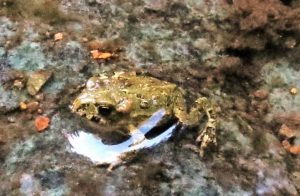 The Western Toad will cover roads during the summer migration