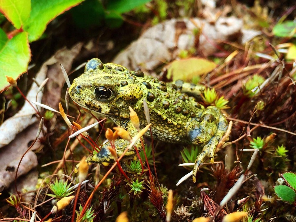 The Western Toad can be seen in the whole Pacific Northwest area