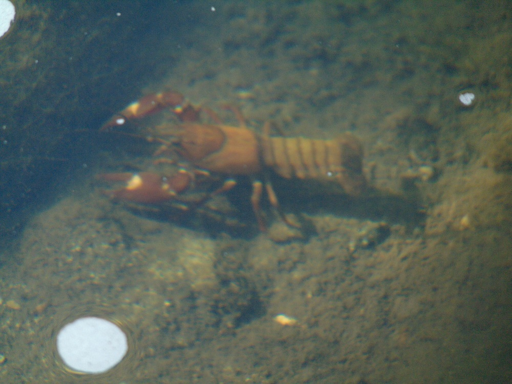 Crayfish have two pairs of sensory antennae and a pair of eyes on movable stalks. The appendages of the thorax include four pairs of walking legs which, as well as walking, are used to probe cracks and crevices between rocks looking for food.
