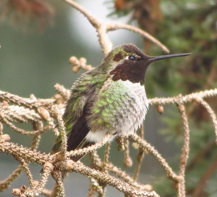 The Anna's Hummingbird were only found in southern California until they began moving north around 1920.