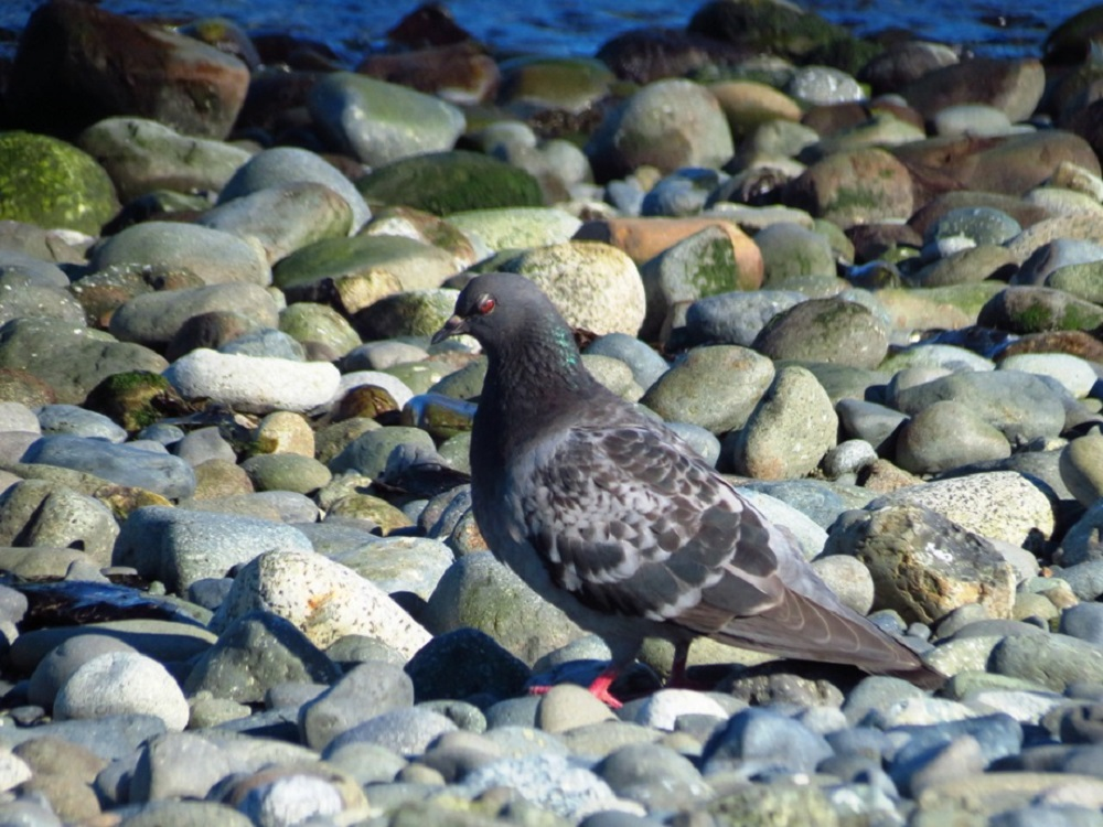 Rock pigeons are common throughout the Pacific Northwest, Vancouver Island and all the pacific northwest.