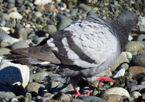 The rock pigeon comes in many different colors, dark grey, light bluish grey, brown, peach, grey and white, pure white and more.