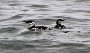 The Thick Billed Murres darker and shinier feathers, in winter, the Common Murre shows a white streak behind the eye.