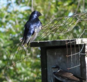 The male purple martin does not have a brood patch but he will sit on the eggs for short periods of time to allow her to feed. Both the parents feed and care for the young after they hatch.