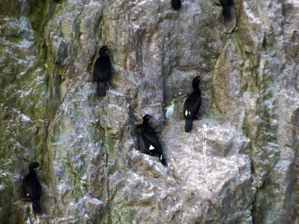 The pelagic cormorant is a wide spread breeder and breeds all over Vancouver Island as well as most other islands on the south coast of B.C. Numbers have been declining in recent years though and studies are being done to find out why, we will keep you posted on this.