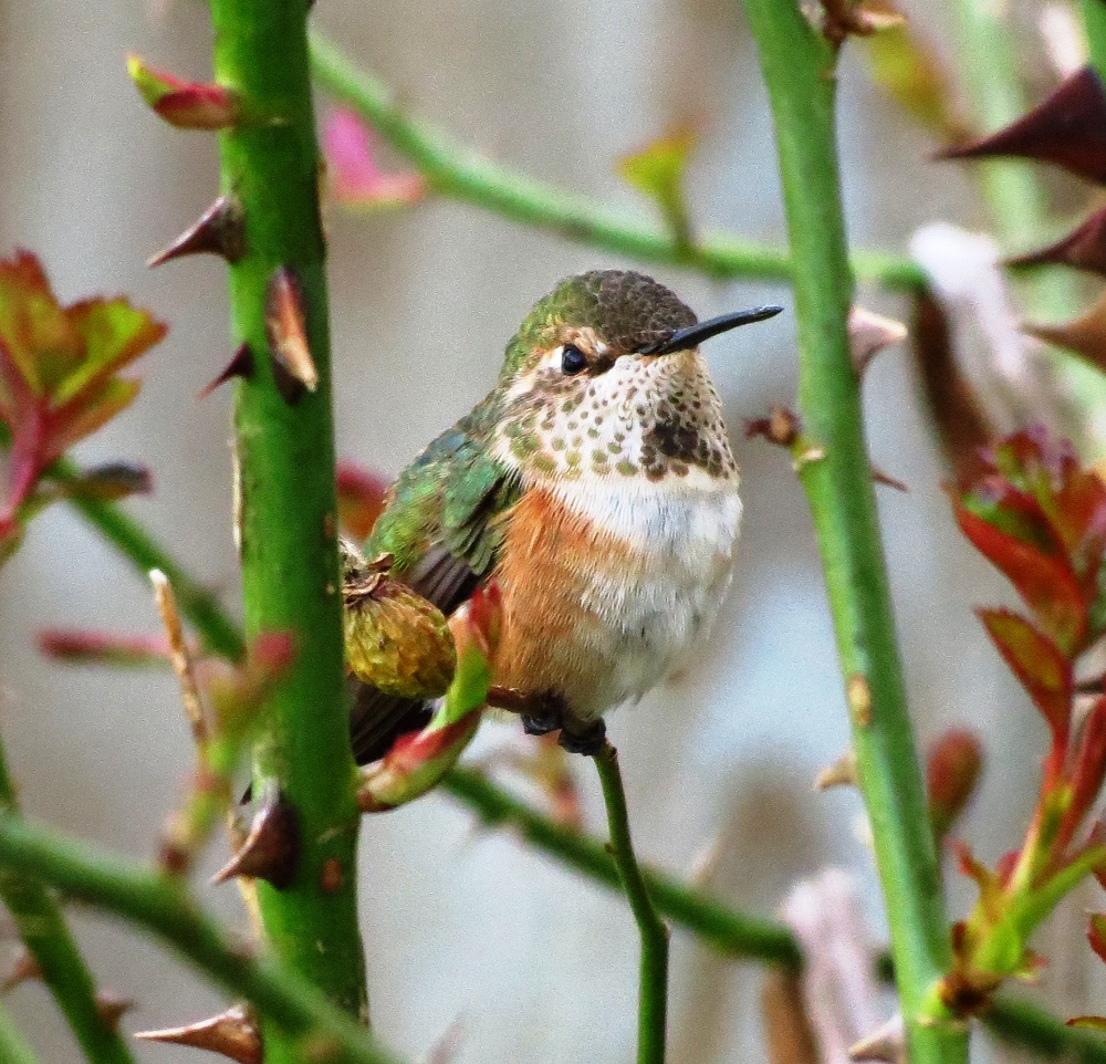 The rufous hummingbird is one of the most aggressive of all species of Hummingbirds. They are well known for chasing each other out of territory. These birds are serious about protecting where they are going to live and where they are going to eat.