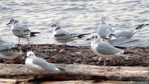 On nesting grounds, the Bonaparte gull feeds mostly on insects. In coastal areas during the winter season, fish  make up the better part of their diet