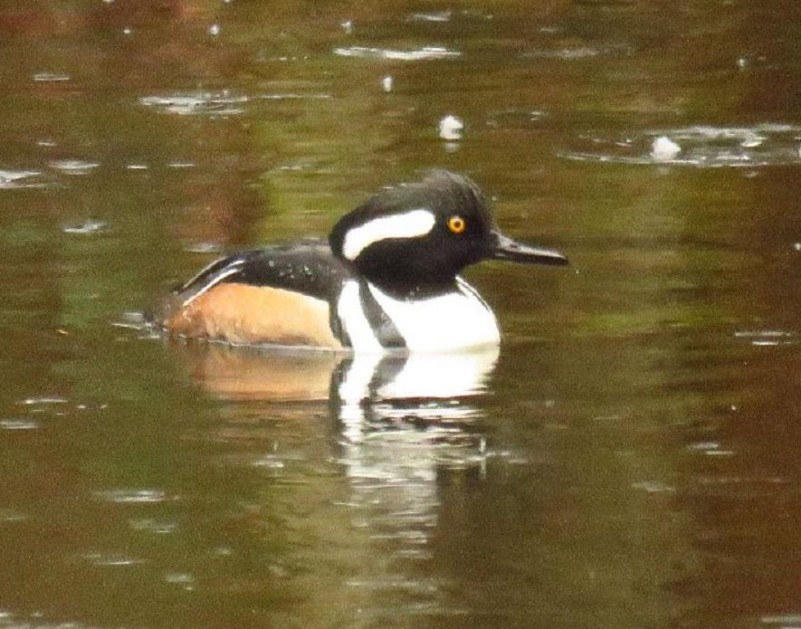 The hooded merganser is a very small duck, the smallest of the three merganser species that can be found on the BC Coastal Region