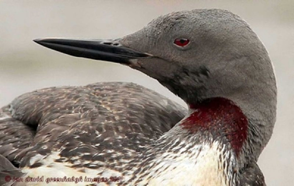 Red Throated Loon, Vancouver Island, BC