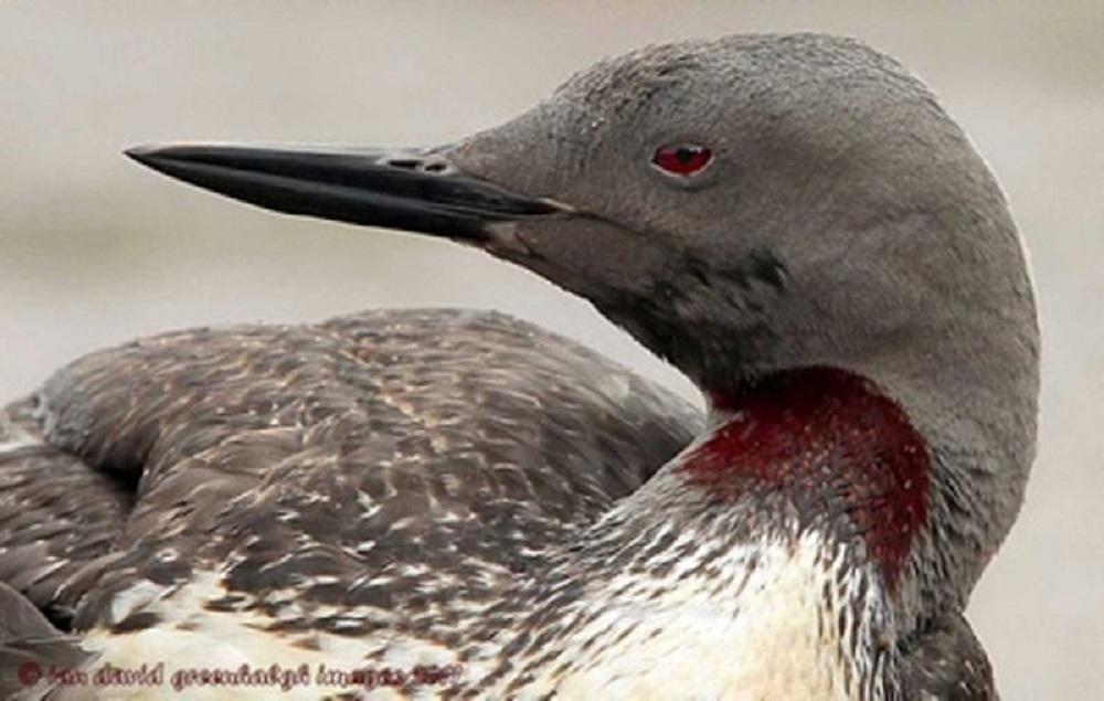 Red Throated Loon, Seabirds, Birds, Vancouver Island, BC Coastal Region, Pacific Northwest