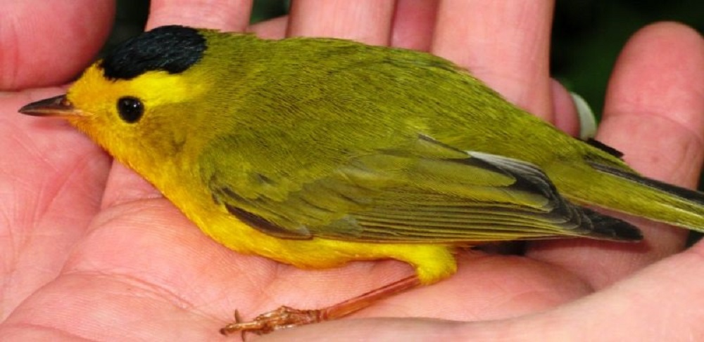 The wilsons warbler is a very common bird on the south island. Wilson's Warblers are small yellow birds marked with black. They are bright yellow below, and an olive yellow above. Males have distinctive black caps on top of their heads, and both sexes have large, black eyes that stand out against the bright yellow on their faces.