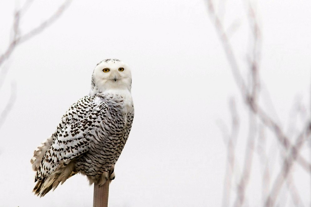 The snowy owl has a beautiful white plumage that helps it hunt in its normal winter like habitat.