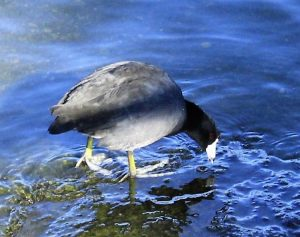 The American coot is a popular resident of the semi open water in marshes, lakes and ponds, as well as in rivers with similar vegetation. These birds can be found year round along the BC Coastal Region.