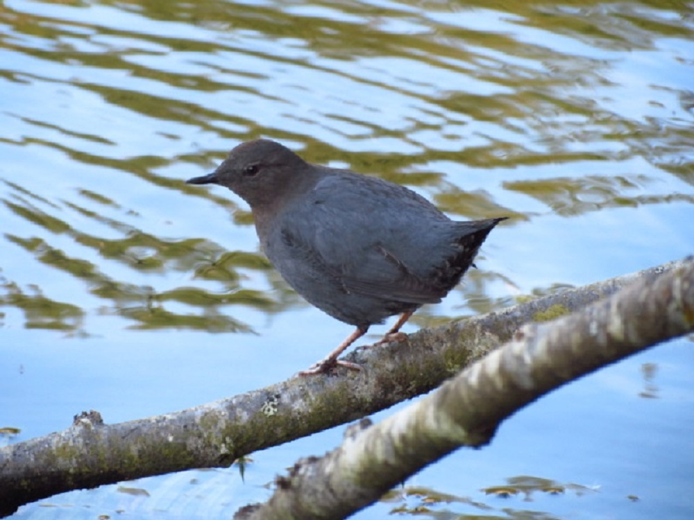 American dippers forage for aquatic insects and their larvae, small fish, and fish eggs.