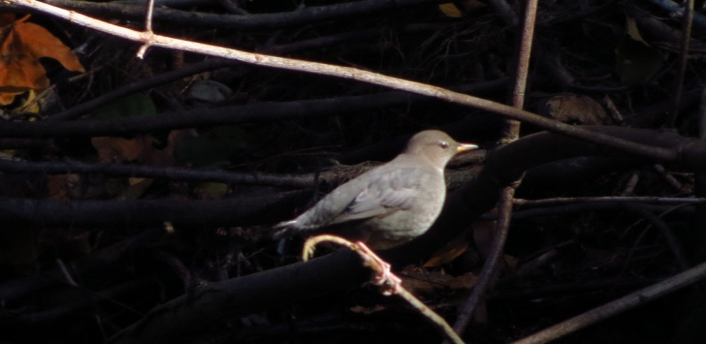 American dippers breed in the western mountains near streams that have clean, flowing water. Except during the breeding season, the birds are solitary. Migration is often limited to within a single water drainage.