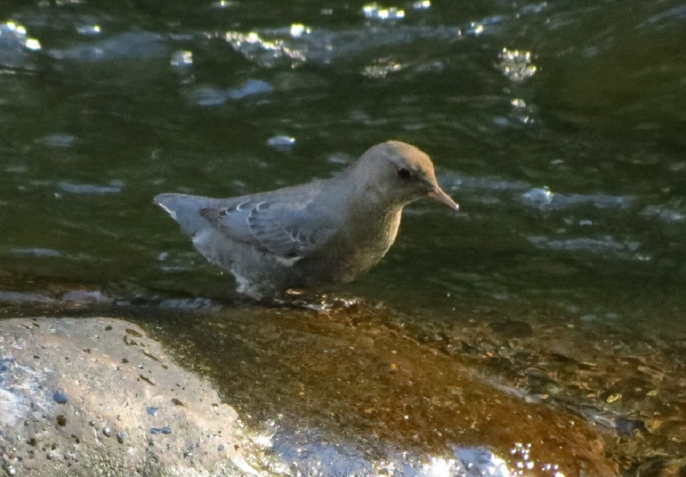 The american dipper is chunky, gray colored, with a dark bill, and is up to 20 cm long