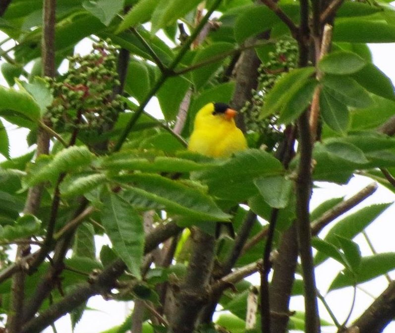 The American Goldfinch prefers to nest in trees located in open spaces.