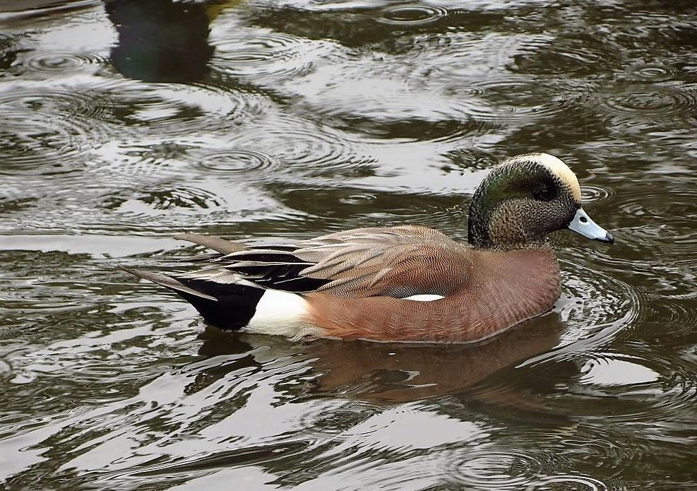 American Wigeon's have a preference for northern nesting areas, so their migration is more prolonged than the migration of ducks that breed farther south.