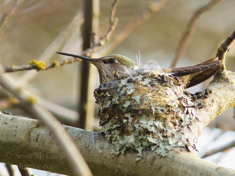 Anna's Hummingbird, Vancouver Island, BC