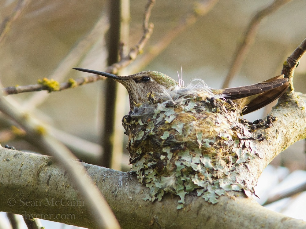 On Vancouver Island the Anna's hummingbird raise two broods with the first eggs laid in very late January and the second ones in late March.