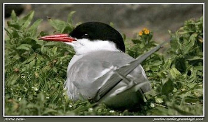 The Arctic Tern is a relatively small bird with long, narrow wings and very short legs. In breeding plumage, the arctic tern has a light grey mantle and belly. The lower half of the head is white, and the upper part is black with no crest.