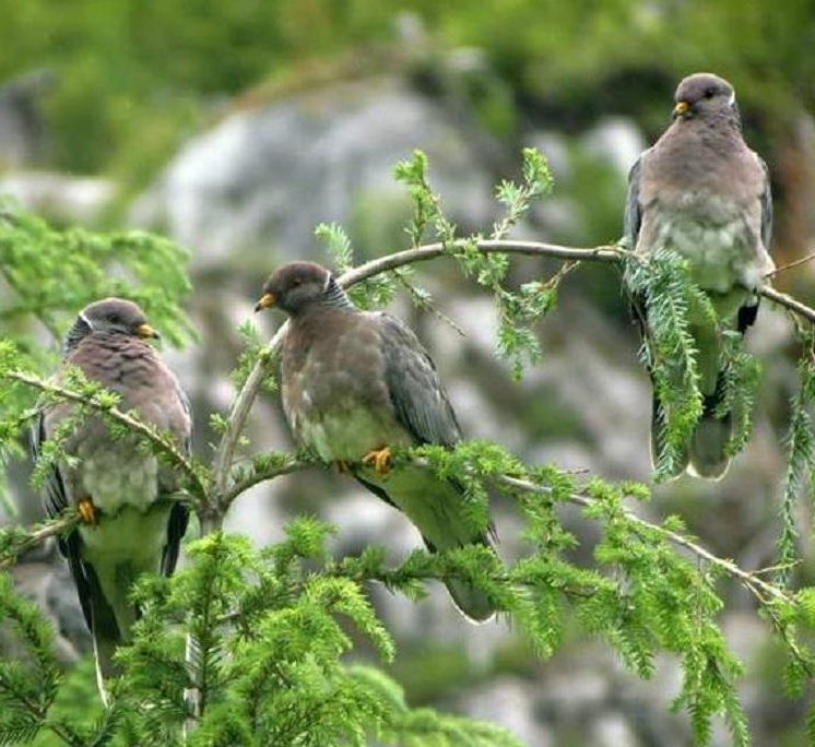 Band tailed pigeon is has dark grey on the wings and back and a lighter grey on the chest and belly, they have bright yellow beaks and feet, a white crescent like marking at the base of the neck and a dark grey band on its tail.