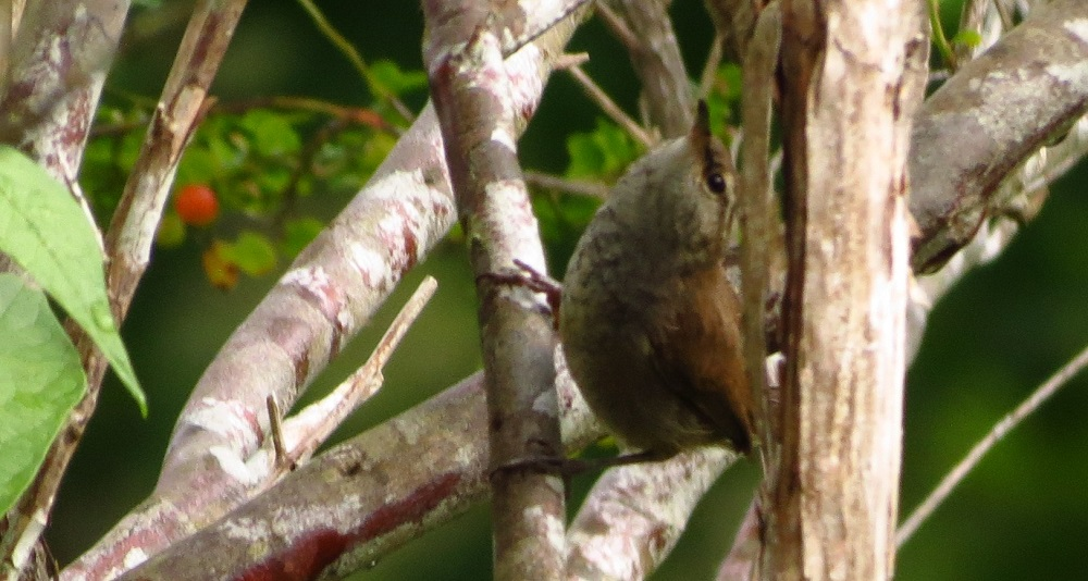 The Bewicks Wren prefer to inhabit brushy areas with thick undergrowth. It can be found in areas such as yards, orchards, stream sides, and forests. It is a cavity nest builder and will build its nest in almost any cavity.