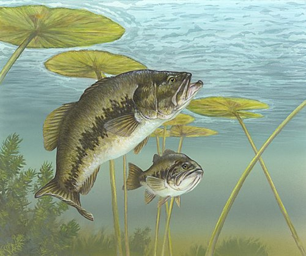 The Big Mouth Bass are very aggressive predators that are primarily a lake fish.
