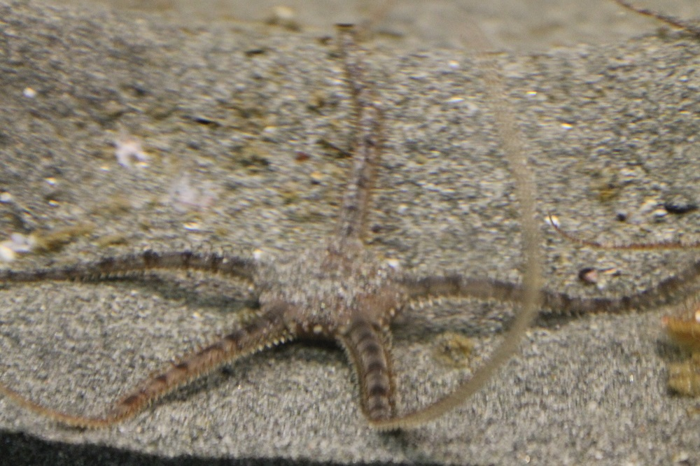 A brittle stars arms are supported plates made from calcium carbonate. These plates work together like ball and socket joints to give the brittle star's arms flexibility. This gives these stars very flexible arms that can have a graceful movement that allows them to move quite quickly.