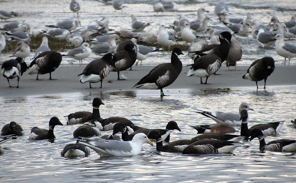 In the spring they head up the coast of North America stopping in British Columbia. Their arrival on Vancouver Island is a cause for celebration, as thousands of birds descend on coastal beaches and flats, to feed on eel grass.