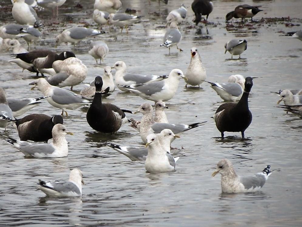 Black Brant feeding during a herring spawn, was quite the sight to see.