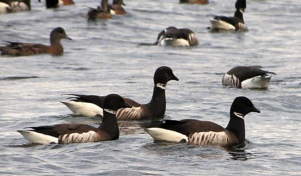 The black brant goose is a small, stocky, dark sea goose about the size of a mallard duck ,with a black head and a short black neck.