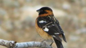 The Black Headed Grosbeak has a very large bill that are perfect for cracking open seeds, they can also use these bills to crack open beetles, bugs or snails and indeed do. During the breeding season, their feed consists of up to 60% insects.