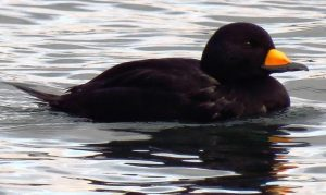 The Black Scoter is a medium sized diving duck, entirely black except for yellowish orange knob at base of its black bill. The legs and feet are black. The male is the only all black duck in North America. It is a strong flier with rapid wing beats.