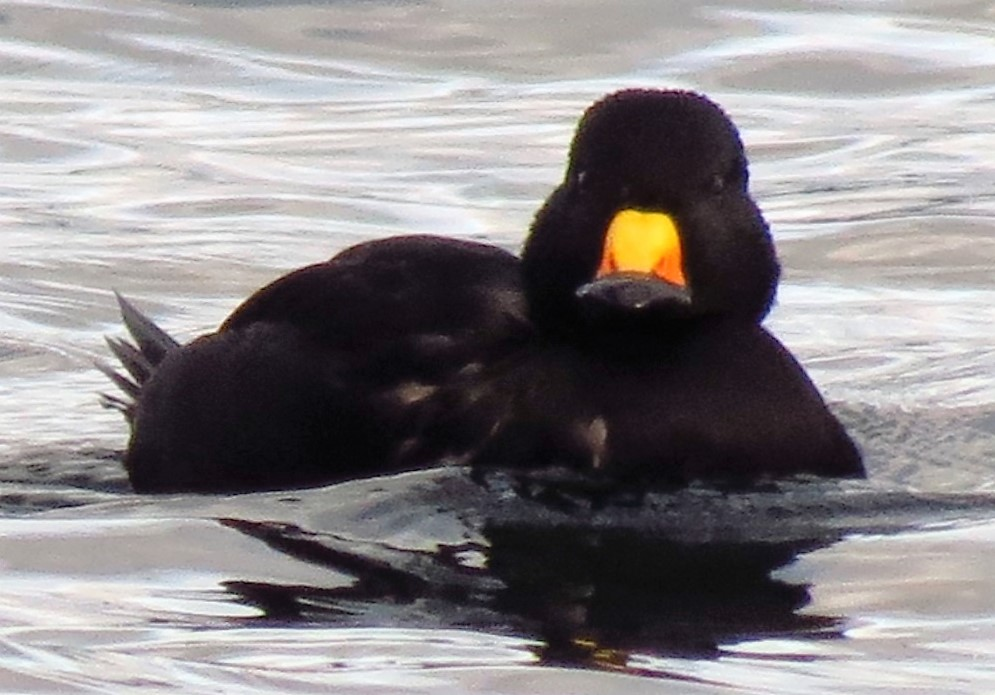 Black Scoter's are a common sight during the winter months along the Pacific Northwest Coast.