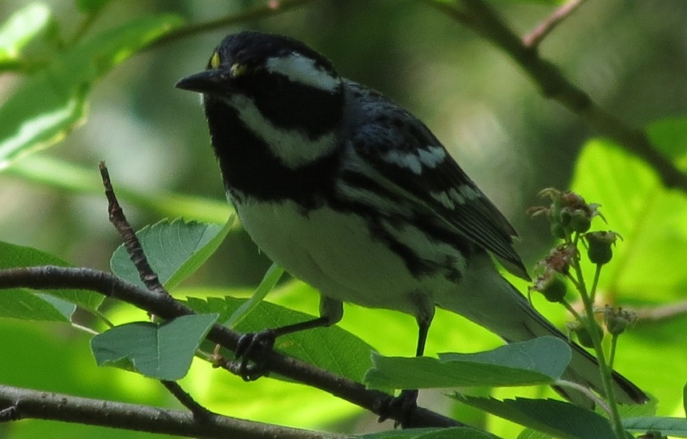 Much of the breeding rituals of the Black Throated Gray Warblers is still unknown.