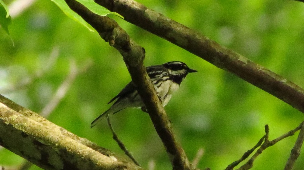 Settlement and forest management may have benefited the BlackThroated Gray Warblers, because this development has increased the amount of hardwood growing in these historically coniferous zones.