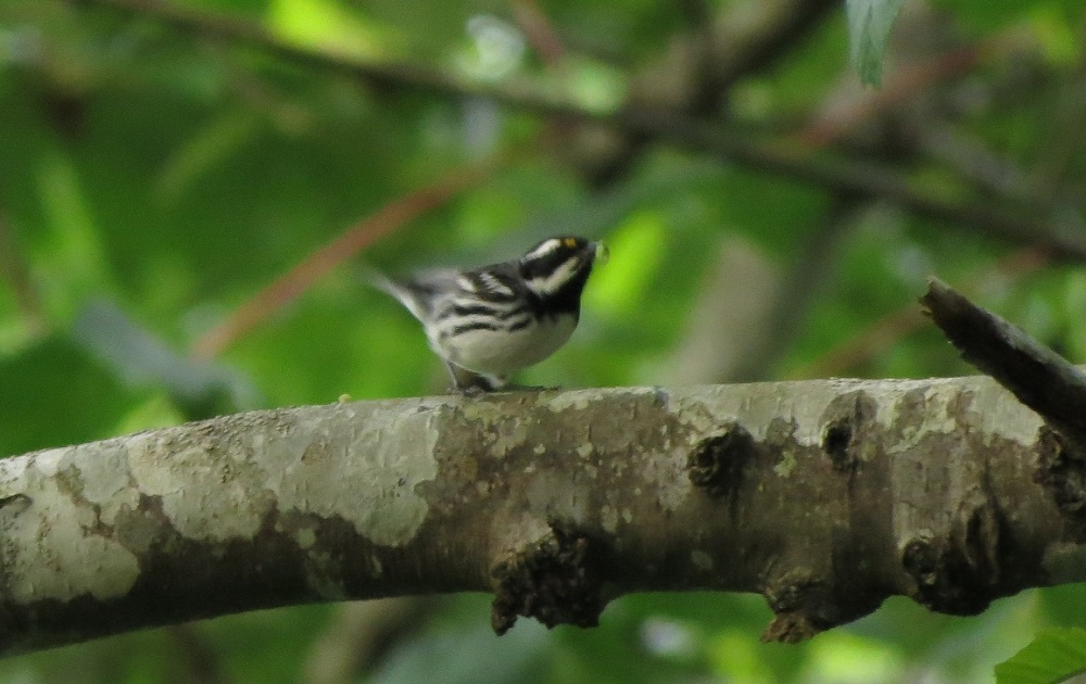 The black throated gray warbler is a small songbird that breeds in open coniferous and mixed forests on the BC Coast, especially in alder and maple forests mixed with conifers