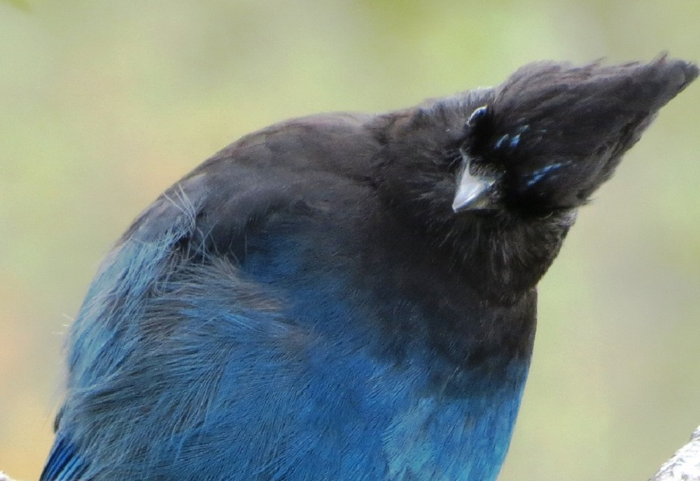 The Steller Jay with its deep blue and black plumage and shaggy crest, is a stunning and attractive, but very noisy. Its front part is black and its rear is deep blue.