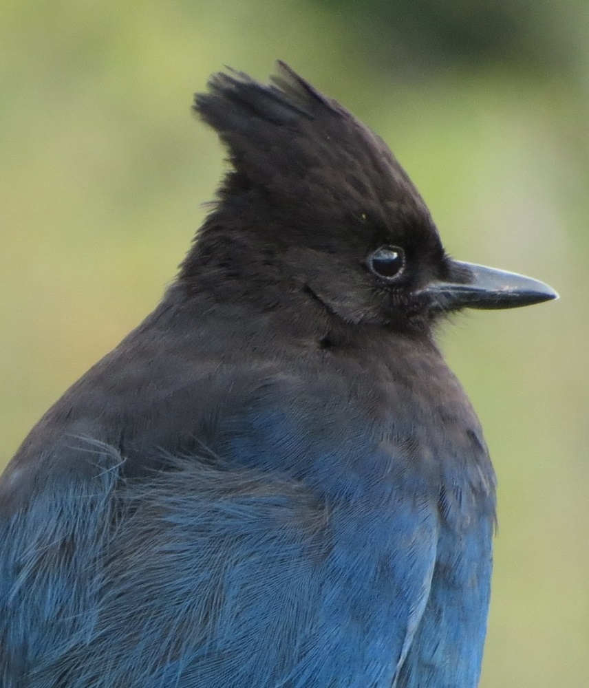 The steller jay will stash its food all summer long in the crotches of tree branches and then forgets where he put most of it. This is a great benefit to other birds that use these stashes during the Island winter.