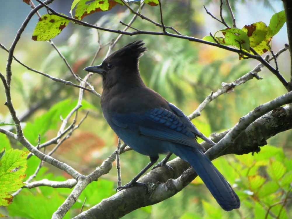 The steller jay generally likes to build its nests in dense coniferous forests. Both the male and the female birds help to build the cup like nest from moss, twigs, weeds, and leaves, held together with mud.