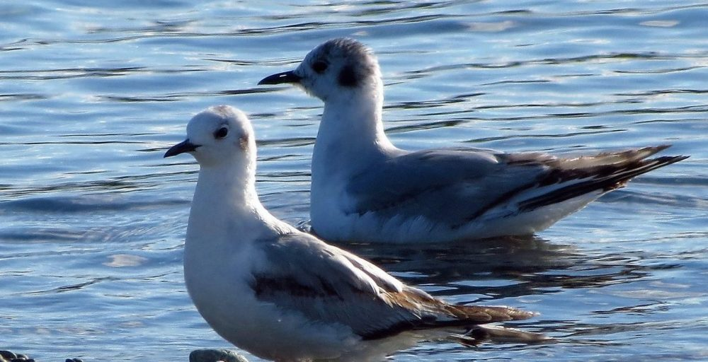 The smallest gull of North America, the Bonaparte Gull is often described as tern like in flight.