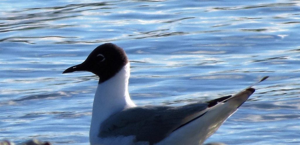 The BC Coastal Region has many types of Seabirds, the gulls, the terns, the cormorants, the murres, puffins, grebes, loons, and many more.