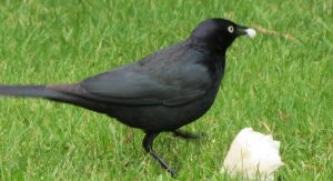 The brewers blackbird is a medium sized blackbird. Adults have a pointed bill. Adult males have black plumage and the female is dark grey. The male has a bright yellow eye, while the female's is dark.