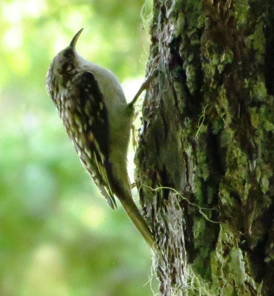 The brown creeper is a small bird, about up to 14 cm tall. They have streaked brown plumage and buff colored undersides. As a result, they blend in naturally with the trees they inhabit and upon which they find their food.