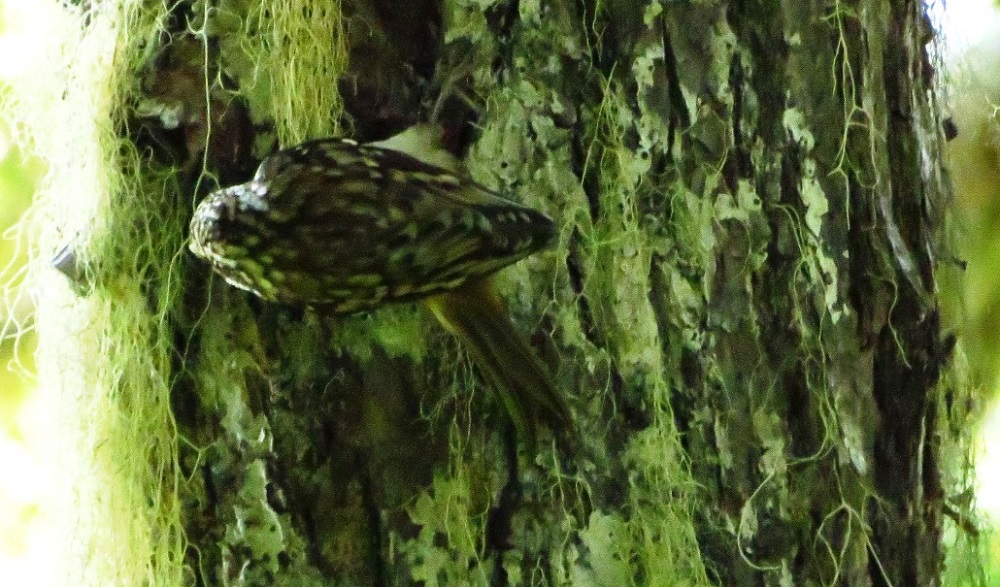 Brown creepers can be found from Alaska eastward across Canada to Newfoundland. They inhabit all of the BC coastal region. They are also found throughout the United States.